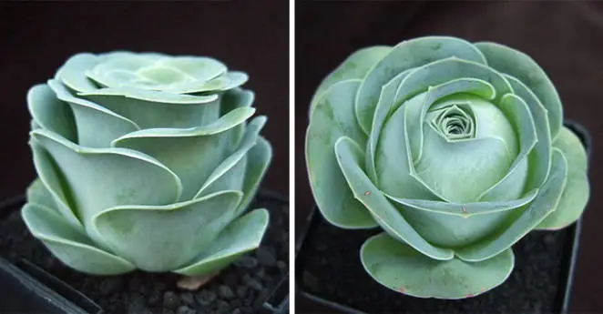 Lovely Succulents Flower Shaped Roses. They Grow Beautifully All Year Long!