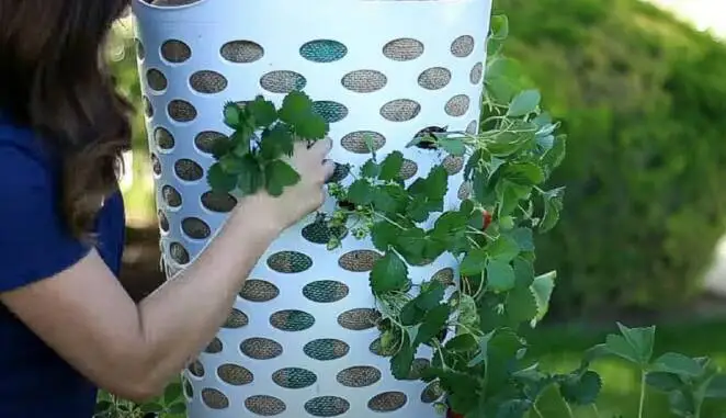 A Fantastic Patent for Planting Strawberries. All You Need Is a Plastic Laundry Basket
