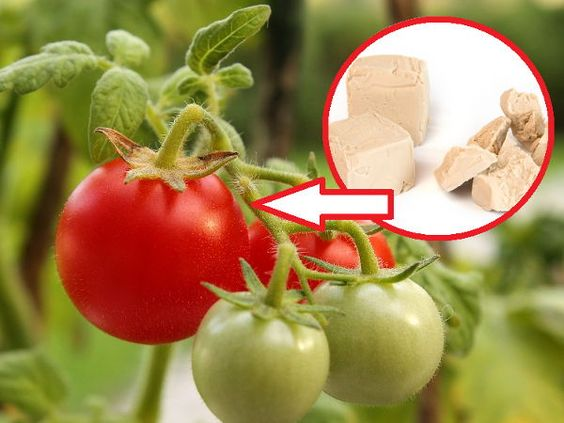 Use Yeast in the Garden! Protect Plants From Various Diseases