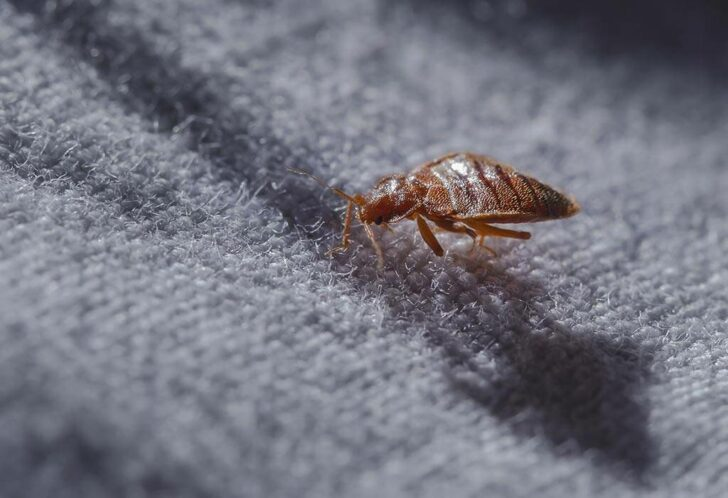 How Will I Know Bed Bugs When I See Them?
