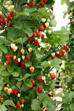 Vertical-Strawberry-Tube-Planter-06