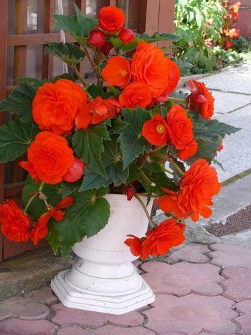 Begonia Tuberhybrida – the Most Beautiful Flower to Grow on Shady Balconies