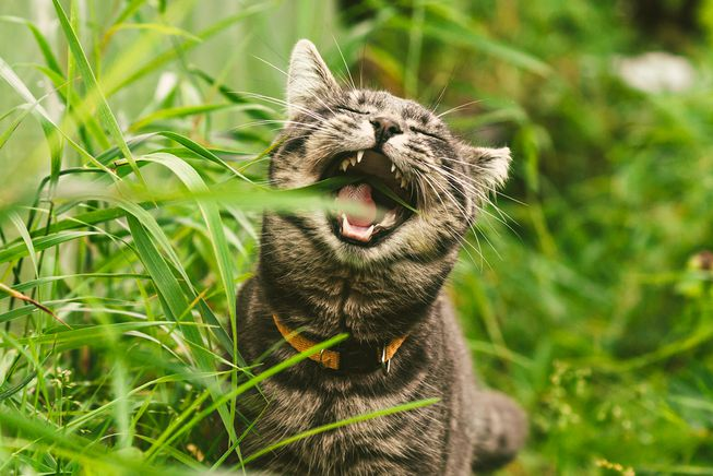 Why Do Cats Eat Grass if They Throw It up a Few Minutes Afterwards?