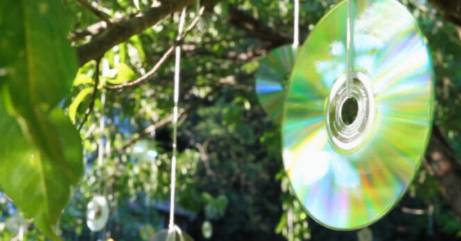 Are You Wondering What Makes Some People Hang CDs on Trees? It's All about Protection!