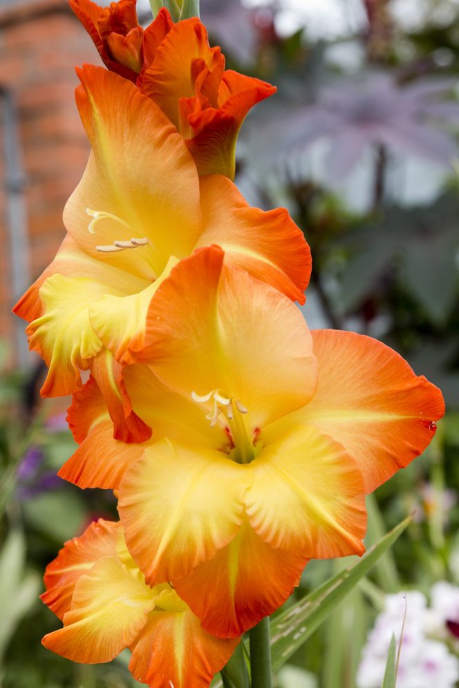 12 Bulbous Flowers Blooming All Summer Long. Your Garden Will Burst with Colours