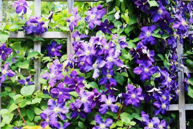 10 Most Beautiful Garden Climbers. They Are So Cute That Picking the Prettiest Is Really Hard!