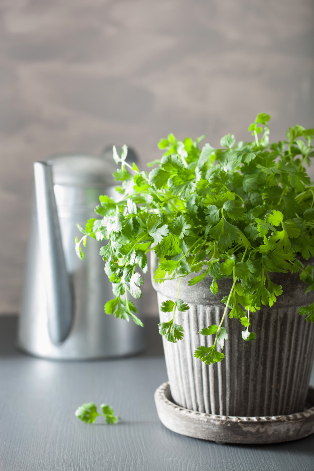 Simple Tricks to Make Your Coriander Grow Vigorously. You Will Never Have to Buy It!