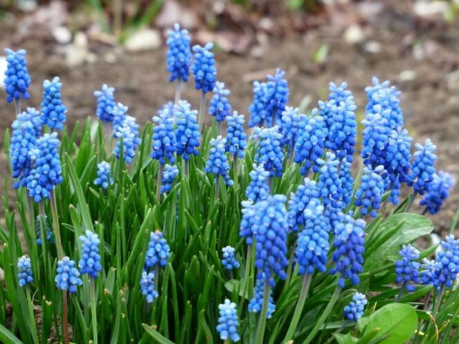 Simple Trick How a Few Flower Bulbs Can Be Planted in One Pot. They Will Look Marvelous!