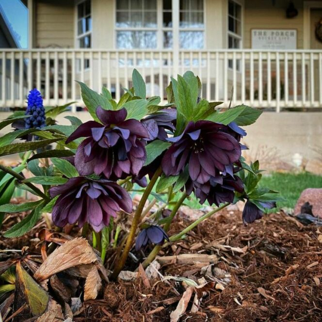 11 Plants With Dark Flowers. They Can Create Unique Atmosphere in the Garden