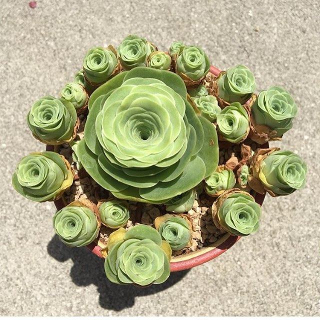 Charming Succulents That Look like Roses. Looking Gorgeous All Year Long!