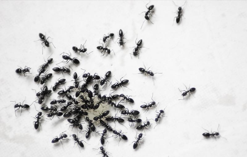 homemade-ant-killer-03