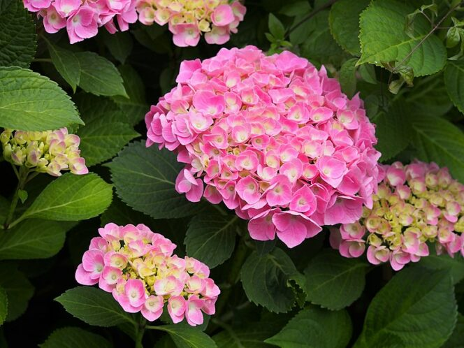 Hortensia Is like a Chameleon. You Can Easily Change Its Color