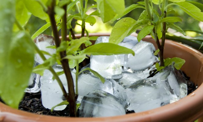 My Grandmother Would Always Put Some Ice Cubes in Pots. This Is an Old Gardening Trick
