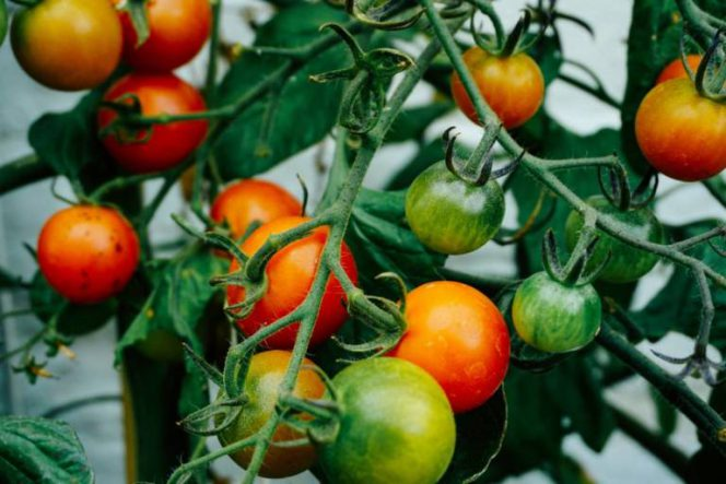 What Makes Iodine Useful in the Garden?