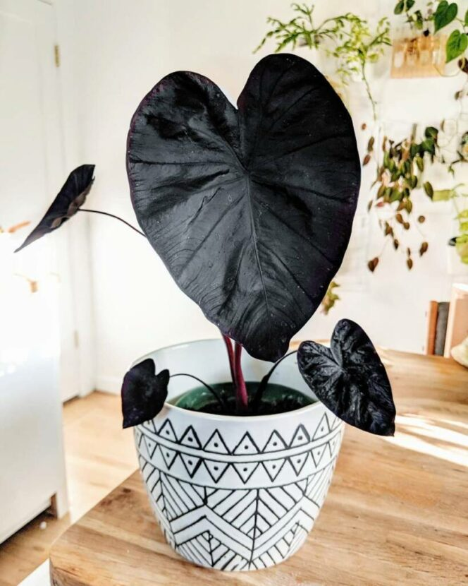 Colocasia Esculenta 'Black Magic' – an Exotic Plant With Edible Bulbs