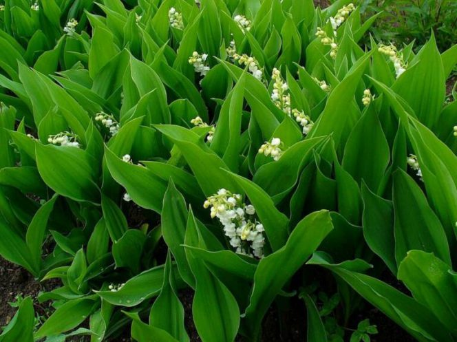 Lily of the Valley – a Sweetly Scented Woodland Flower That Is Highly Poisonous