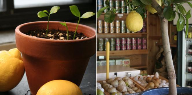 lemon-tree-from-seed-fb