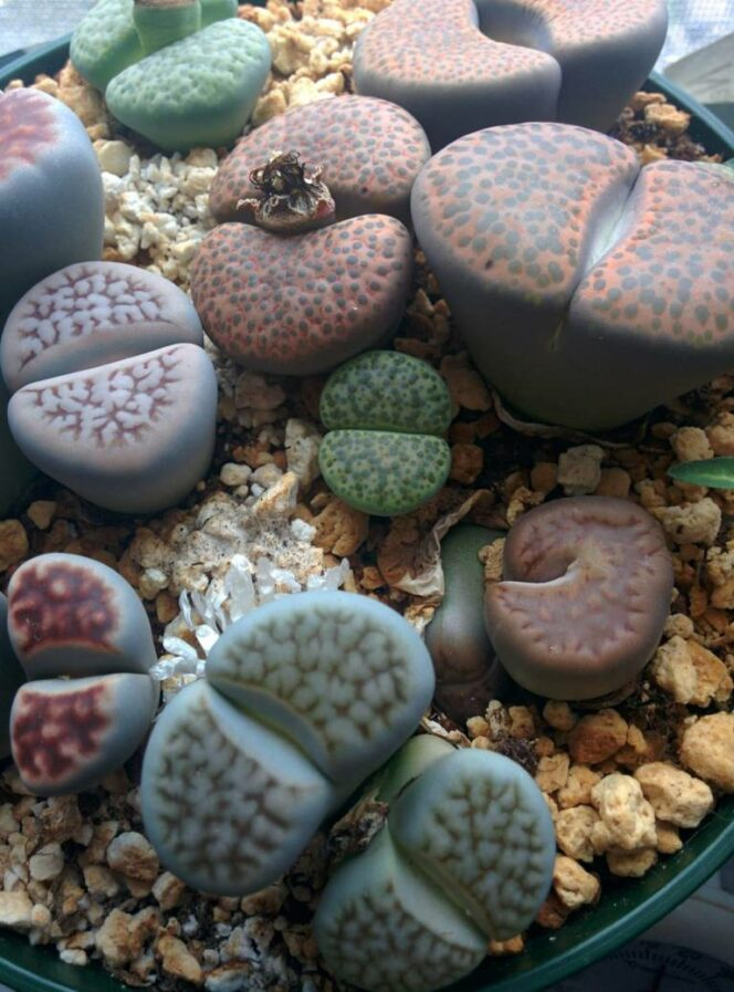 Decorative Stones from Another Galaxy? Succulents That Are Simply Beautiful!