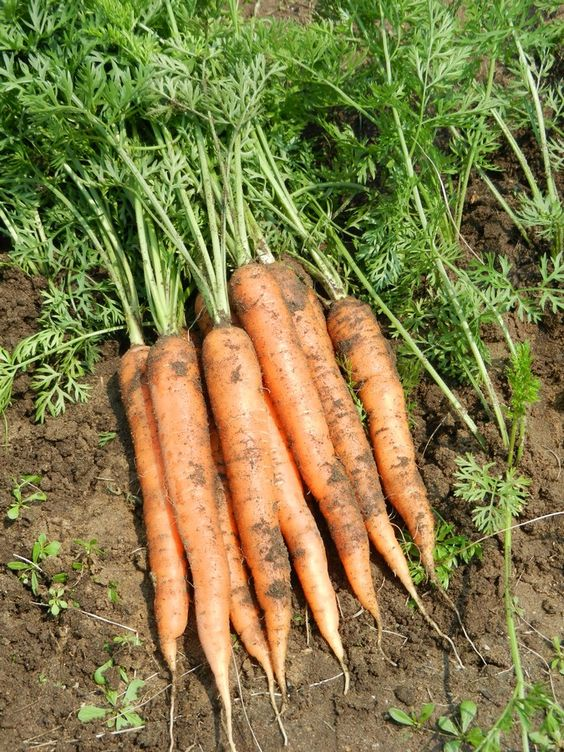 Gardening Hacks to Grow Carrots. Priceless Knowledge That Will Bring You Generous Harvest