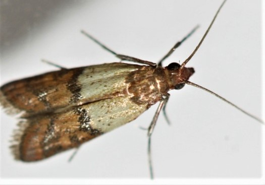 Grandmother's Methods to Get Rid of Indian-Meal Moths and Clothes Moths. You Can Kill the Moths and Their Larva at Once!