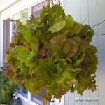 moss-lettuce-basket-fi