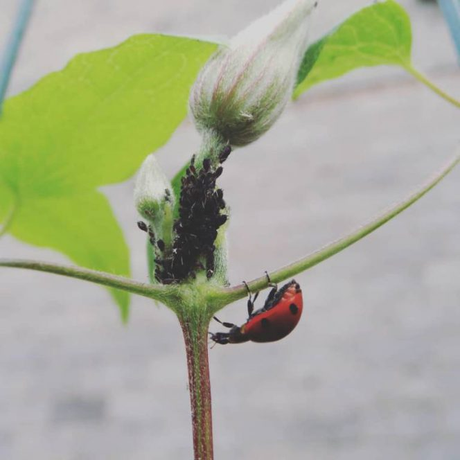 Natural Ways to Kill off Aphids Instantly