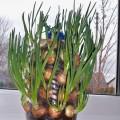 onion-windowsill-plantation-fi