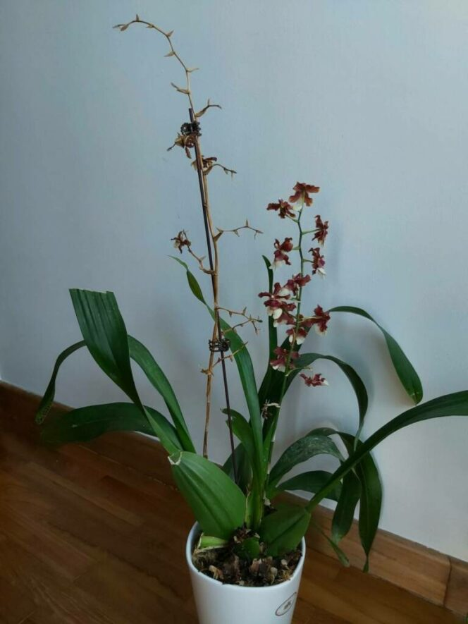 Growing Orchids at Home. What Should We Do When the Wonderful Flowers Fade?