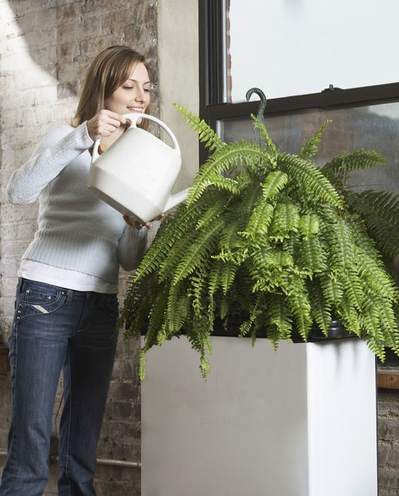 House Ferns. How to Take Care of Them