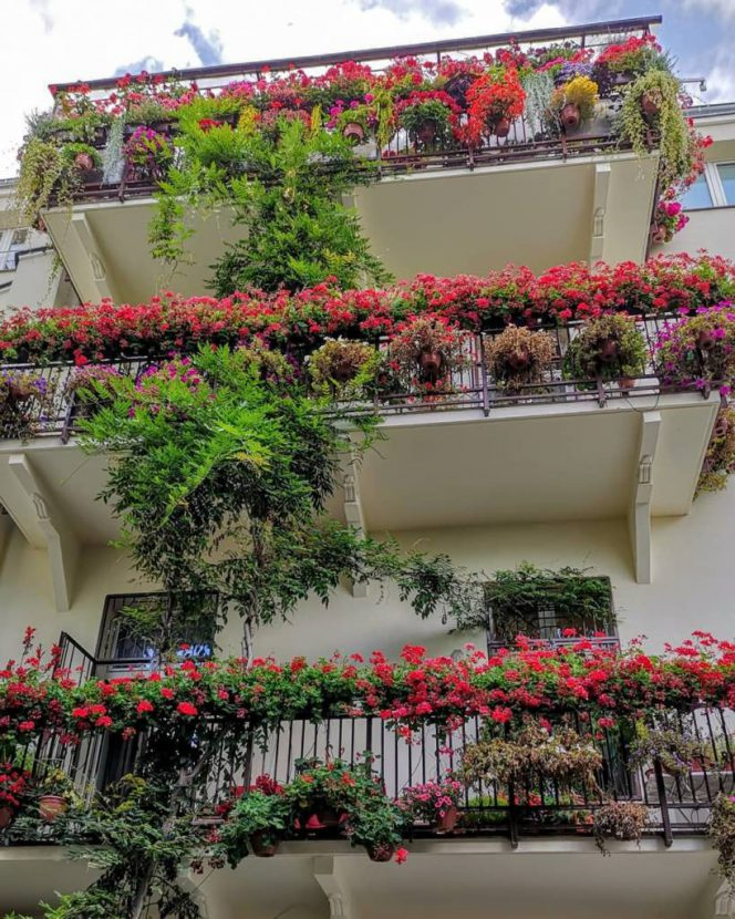 Balcony Pelargoniums – Planting, Varieties and Other Hints