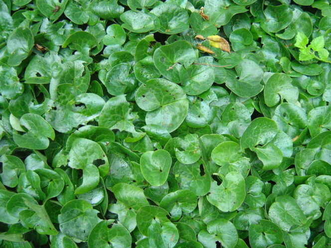 15 Ground Cover Plants to Fill the Space underneath Trees and Bushes. They Spread Really Easily