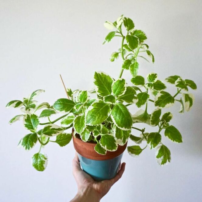 Keep These Plants on Your Balcony or Terrace, and Mosquitoes Will Keep Away from Your Place!