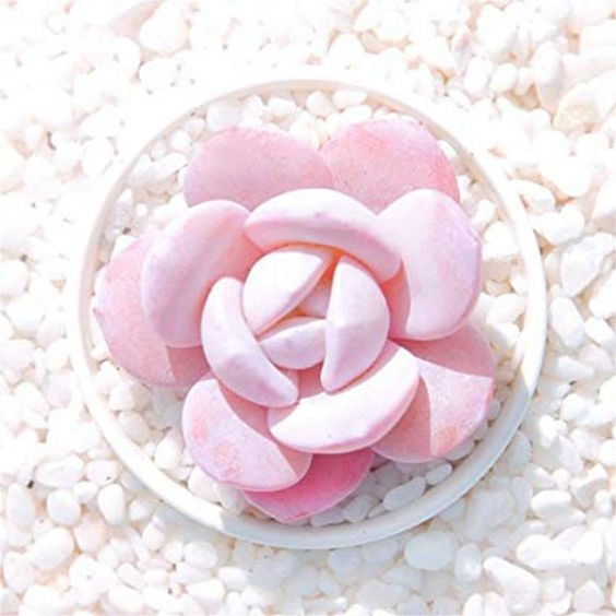 Pink Succulents Look like Cheeks Powdered Pink. A Great Gift for Princesses of All Ages!