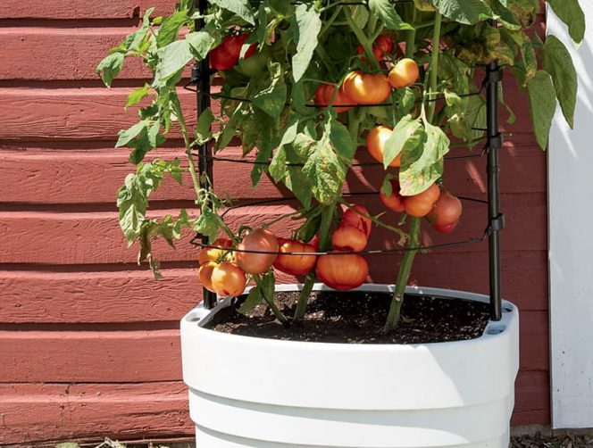 The Easiest Way to Grow Tomatoes at Home