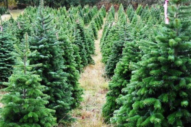 TheNordmann fir