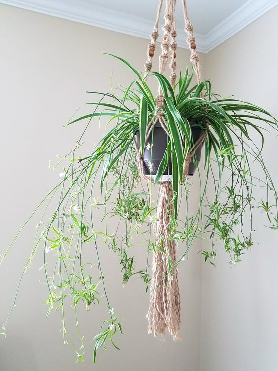 Growing Spider Plants – Everything You Need to Know