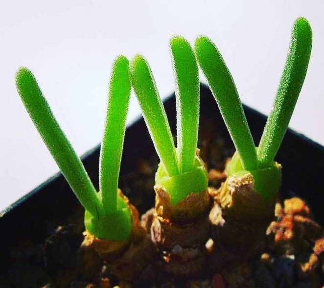 Succulent plants looking like rabbits will be a charming decoration of your house