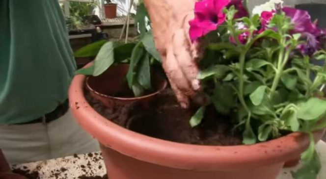 Professional Tricks to Plant Petunias and Pelargoniums Thanks to Which You Can Avoid Breaking Their Stalks!