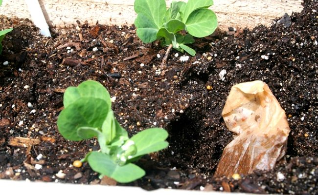 Your Work in the Garden Will Be More Pleasant if You Put Tea Bags in the Soil